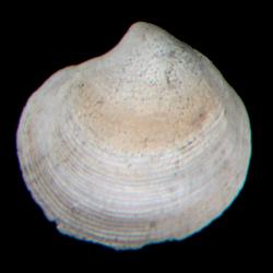Parvilucina crenella