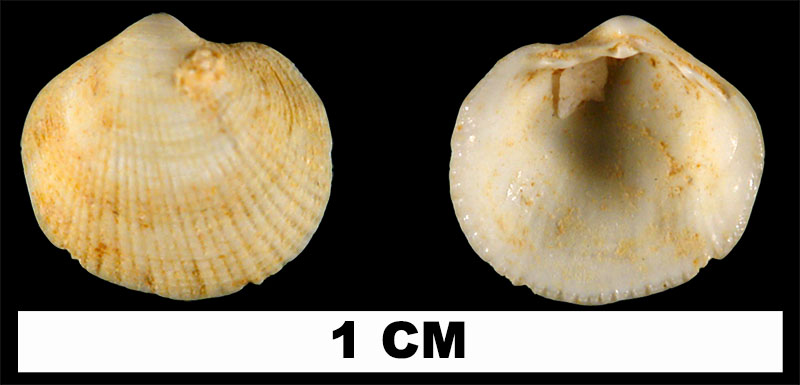 <i>Parvilucina sphaeriolus</i> from the Early Miocene Chipola Formation of Calhoun County, Florida (UF 13134).