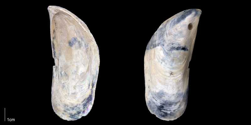 <i>Perna conradiana</i> from the Late Pliocene Tamiami Fm. (Pinecrest Beds) of Sarasota County, Florida (PRI 70164).