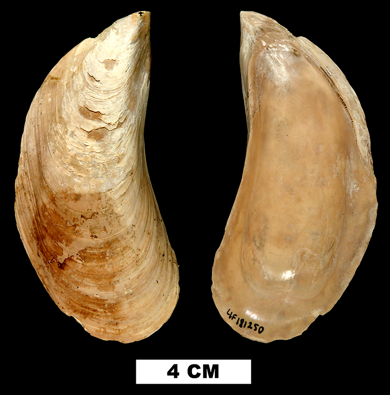 <i>Perna conradiana</i> from the Late Pliocene Tamiami Fm. (Pinecrest Beds) of Sarasota County, Florida (UF 181250).