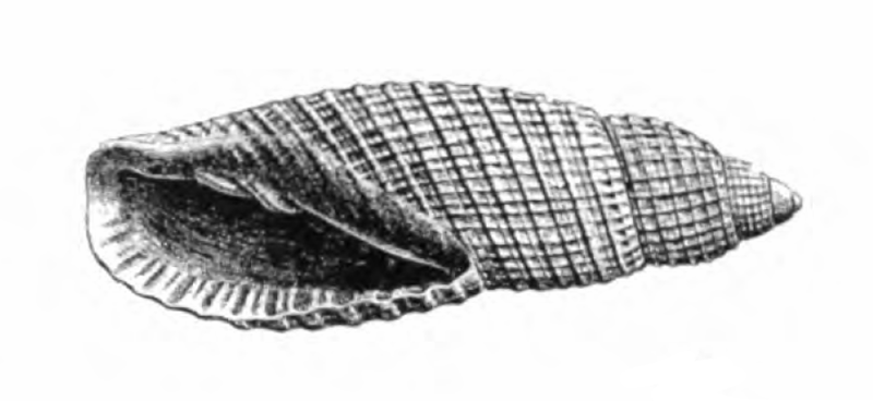Specimen of <i>Perplicaria perplexa</i> figured by Dall (1890, pl. 13, fig. 4); 17.5 mm in length.