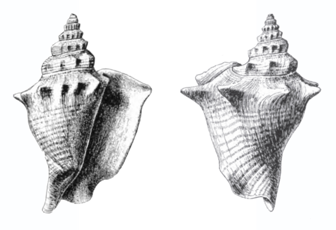 Specimen of <i>Persististrombus chipolanus</i> figured by Dall (1890, pl. 13, fig. 1 and 3); 65.0 mm in length.