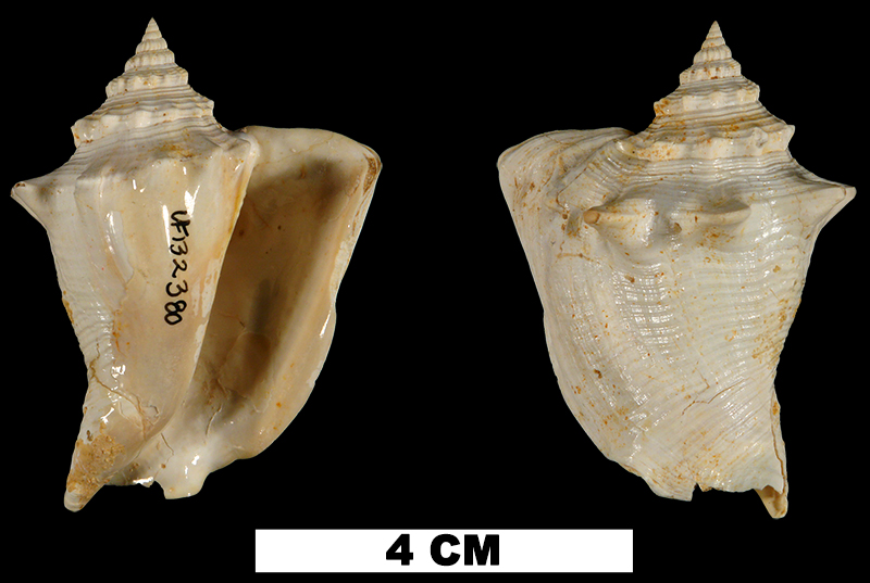 <i>Persististrombus chipolanus</i> from the Early Miocene Chipola Fm. of Calhoun County, Florida (UF 132380).