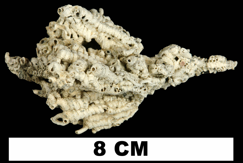 <i>Petaloconchus floridanus</i> from the Plio-Pleistocene (formation unknown) of Sarasota County, Florida (UF 9760).
