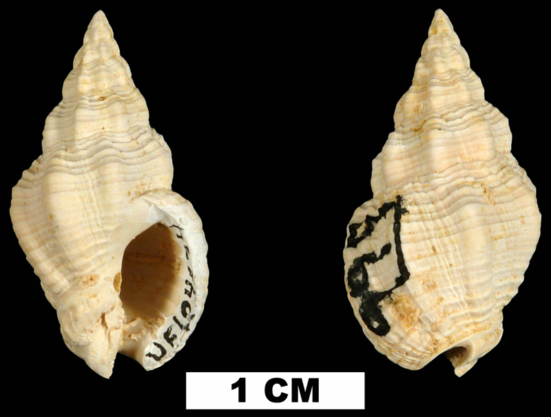 <i>Phos chipolanus</i> from the Early Miocene Chipola Fm. of Calhoun County, Florida (UF 104634).