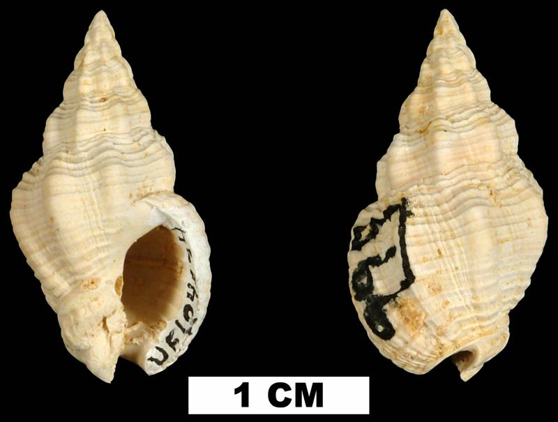 <i>Phos chipolanus</i> from the Early Miocene Chipola Fm. of Calhoun County, Florida (UF 104634).
