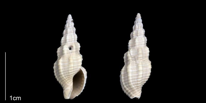 <i>Phos sloani</i> from the Late Pliocene Tamiami Fm. (Pinecrest Beds) of Sarasota County, Florida (PRI 70178).