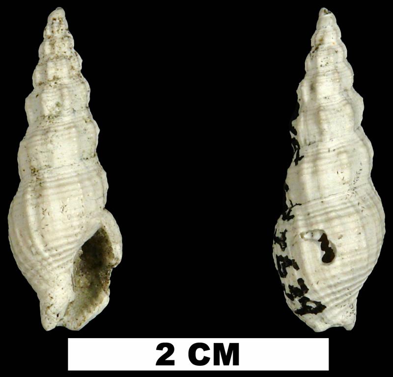 <i>Phos sloani</i> from the Late Pliocene Tamiami Fm. (Pinecrest Beds) of Okeechobee County, Florida (UF 177639).