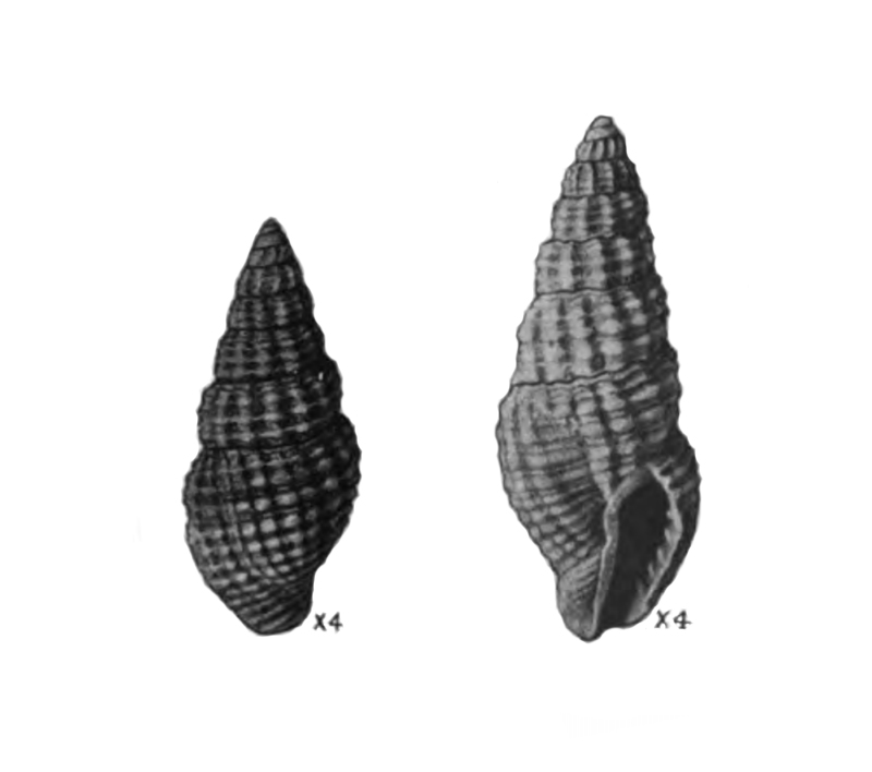 Specimen of <i>Phos vaughani</i> figured by Mansfield (1930, pl. 9, fig. 1 and 8); 10.2 mm and 13.5 mm, respectively.