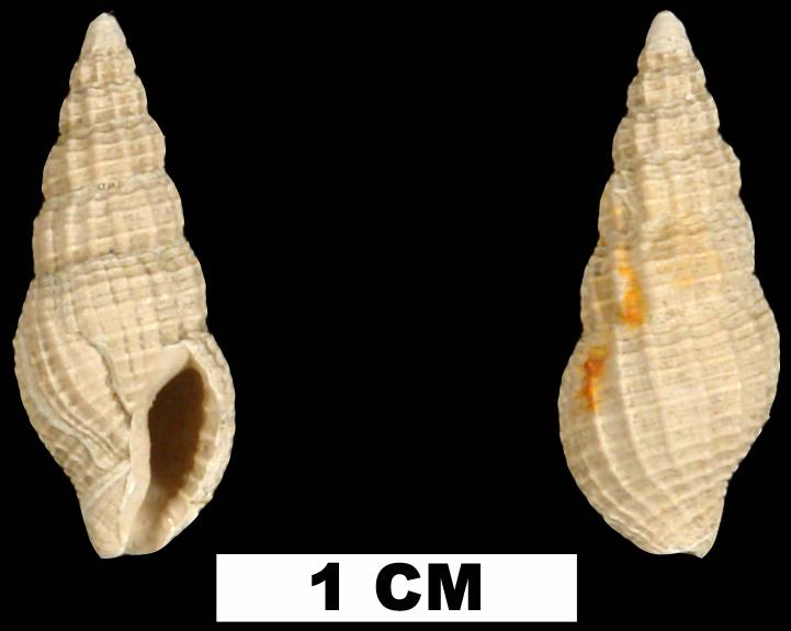 <i>Phos vaughani</i> from the Late Pliocene Jackson Bluff Fm. of Leon County, Florida (UF 69941).