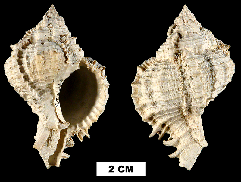<i>Phyllonotus leonensis</i> from the Late Pliocene Tamiami Fm. (Pinecrest Beds) of Sarasota County, Florida (UF 137825).