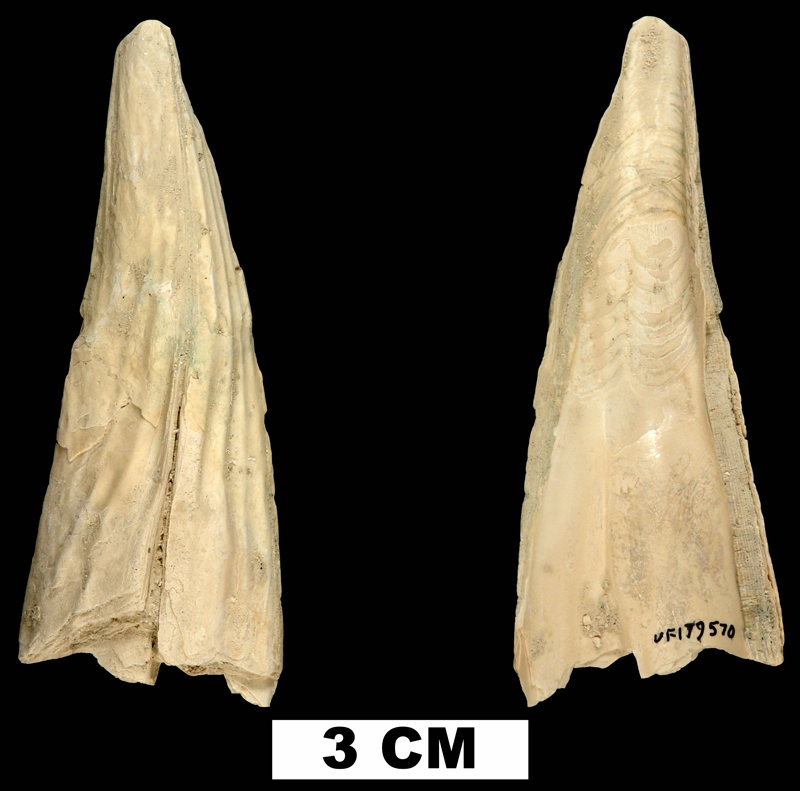 <i>Pinna caloosaensis</i> from the Late Pliocene Tamiami Fm. (Pinecrest Beds) of Sarasota County, Florida (UF 179570)