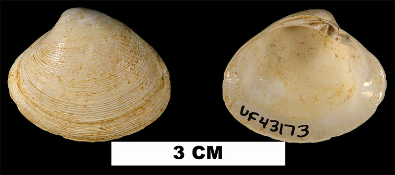 <i>Pitar floridana</i> from the Early Miocene Chipola Fm. of Calhoun County, Florida (UF 43173).