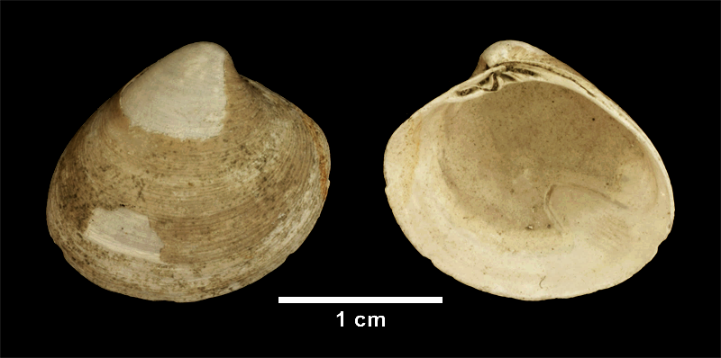 <i>Pitar morrhuanus</i> from the Late Pliocene Yorktown Fm. of Isle of Wight County, Virginia (SDSM 113049).