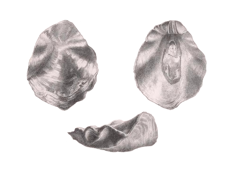Specimen of <i>Placunanomia plicata</i> figured by Tuomey and Holmes (1857, pl. 6, fig. 4-6).