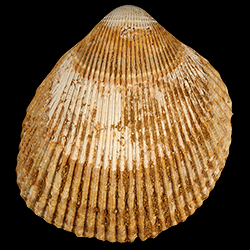 Planicardium acutilaqueatum