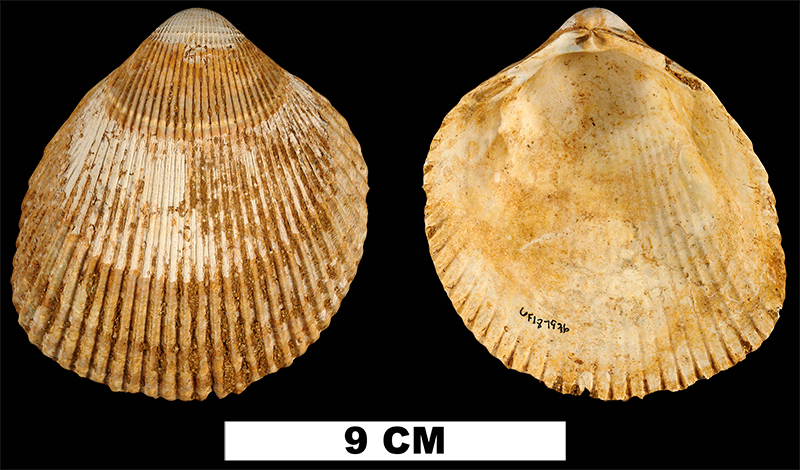 <i>Planicardium acutilaqueatum</i> from the Late Pliocene Yorktown Fm. of Isle of Wight County, Virginia (UF 187936).