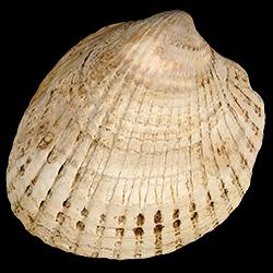 Planicardium virginianum