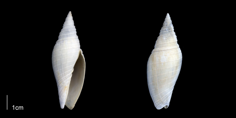 <i>Pleioptygma lineolata</i> from the Late Pliocene Tamiami Fm. (Pinecrest Beds) of Sarasota County, Florida (PRI 70057).