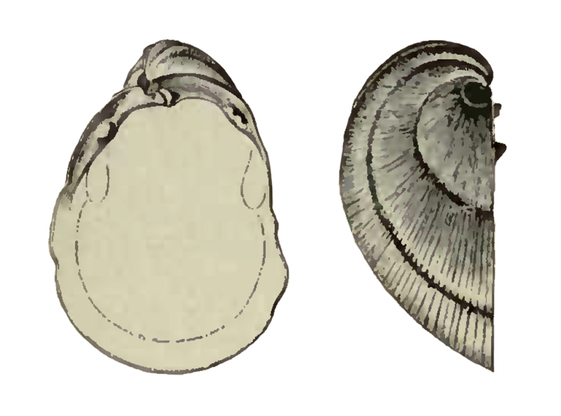 Specimen of <i>Pleurolucina amabilis</i> figured by Dall (1898, pl. 25, fig. 9 and 9a); 15.5 mm in length.