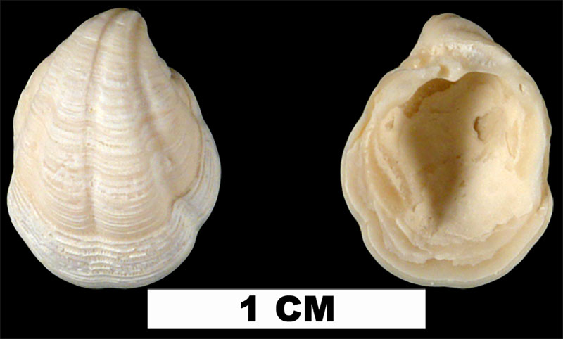 <i>Pleurolucina amabilis</i> from the Late Pliocene Tamiami Fm. (Pinecrest Beds) of Sarasota County, Florida (UF 146721).