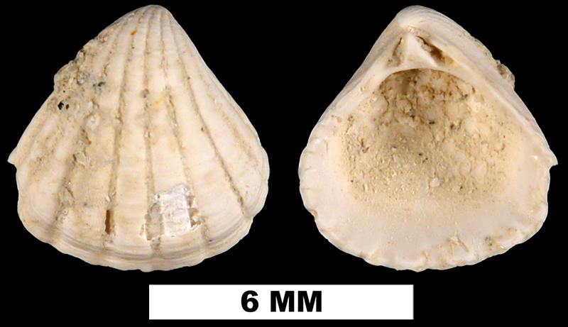 <i>Pleuromeris auroraensis</i> from the Late Pliocene Raysor Formation of Berkeley County, South Carolina (UF 185886).