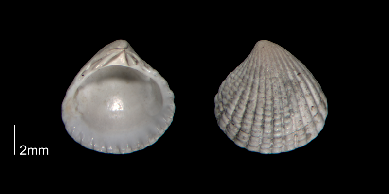 <i>Pleuromeris decemcostata</i> from the Early Pleistocene Waccamaw Fm. of Brunswick County, North Carolina (PRI 70402-1).