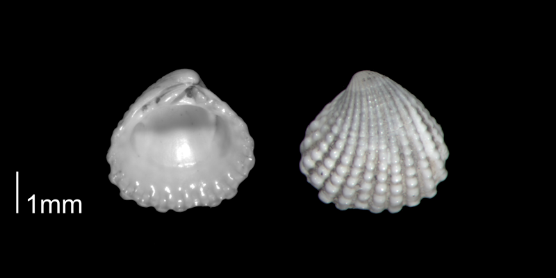 <i>Pleuromeris decemcostata</i> from the Early Pleistocene Waccamaw Fm. of Brunswick County, North Carolina (PRI 70406-2).