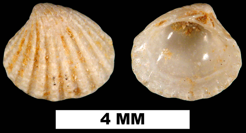 <i>Pleuromeris tellia</i> from the Early Miocene Chipola Fm. of Calhoun County, Florida (UF 189442).