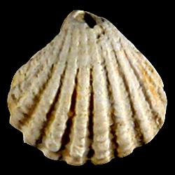 Pleuromeris tridentata