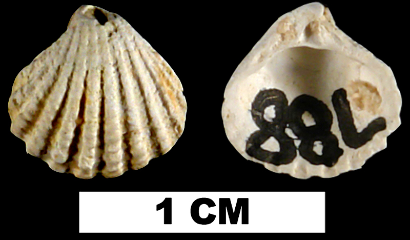 <i>Pleuromeris tridentata</i> from either the Late Pliocene Tamiami Fm. (Pinecrest Beds) or Middle Pleistocene Bermont Fm. of Charlotte County, Florida (UF 224948).