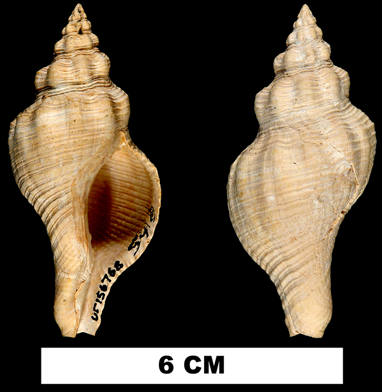 <i>Pliculofusus ramondi</i> from the Early Miocene Chipola Fm. of Calhoun County, Florida (UF 156768).