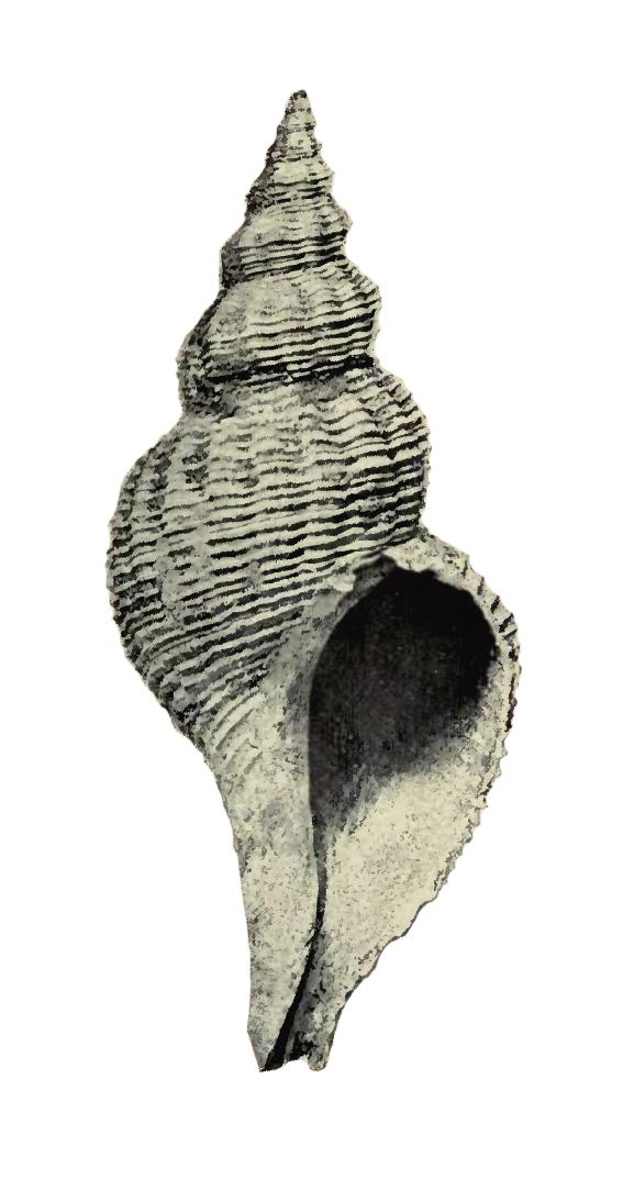 Specimen of <i>Pliculofusus scalarinus</i> figured by Heilpin (1890, pl. 1, fig. 2); 6.5 in. in length.