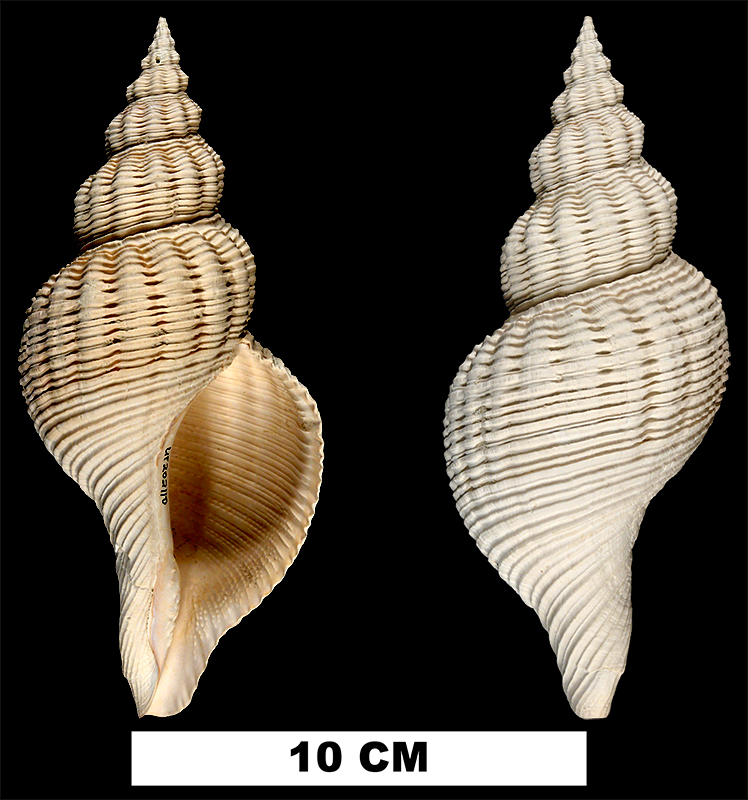 <i>Pliculofusus scalarinus</i> from the Early Pleistocene Caloosahatchee Fm. of Hendry County, Florida (UF 202110).