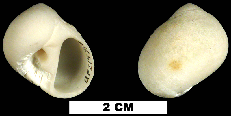 <i>Polinices lacteus</i> from the Middle Pliocene Bermont Fm. of Miami-Dade County, Florida (UF 214516).