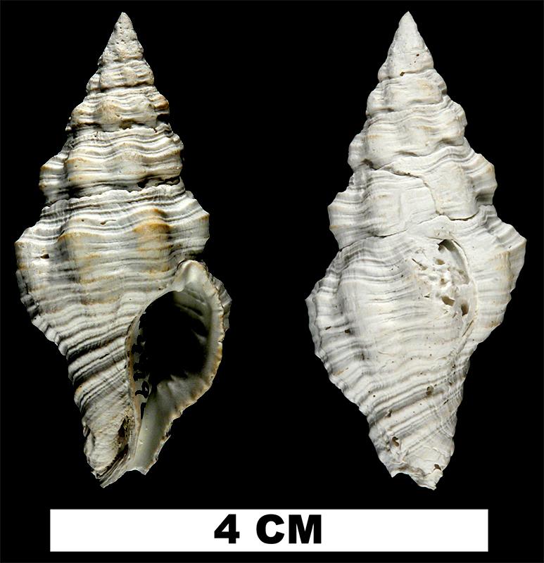 <i>Polygona jucunda</i> from the Early Pleistocene Caloosahatchee Fm. of Hendry County, Florida (UF 49196).