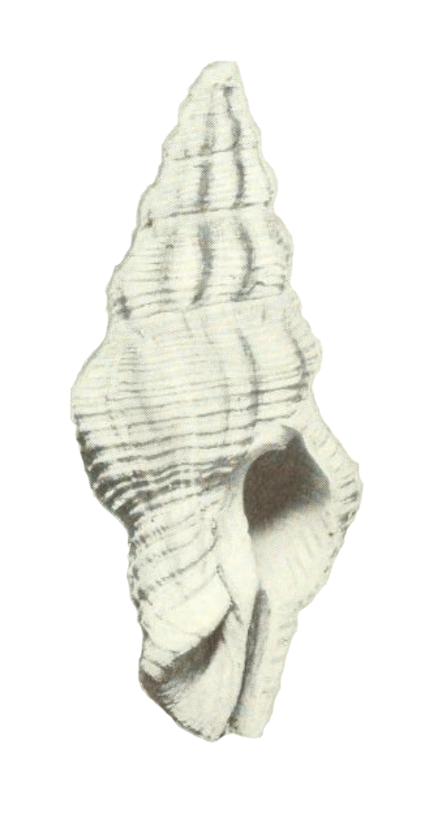 Specimen of <i>Polygona maxwelli</i> figured by Pilsbry (1939, pl. 5, fig. 9); no scale.