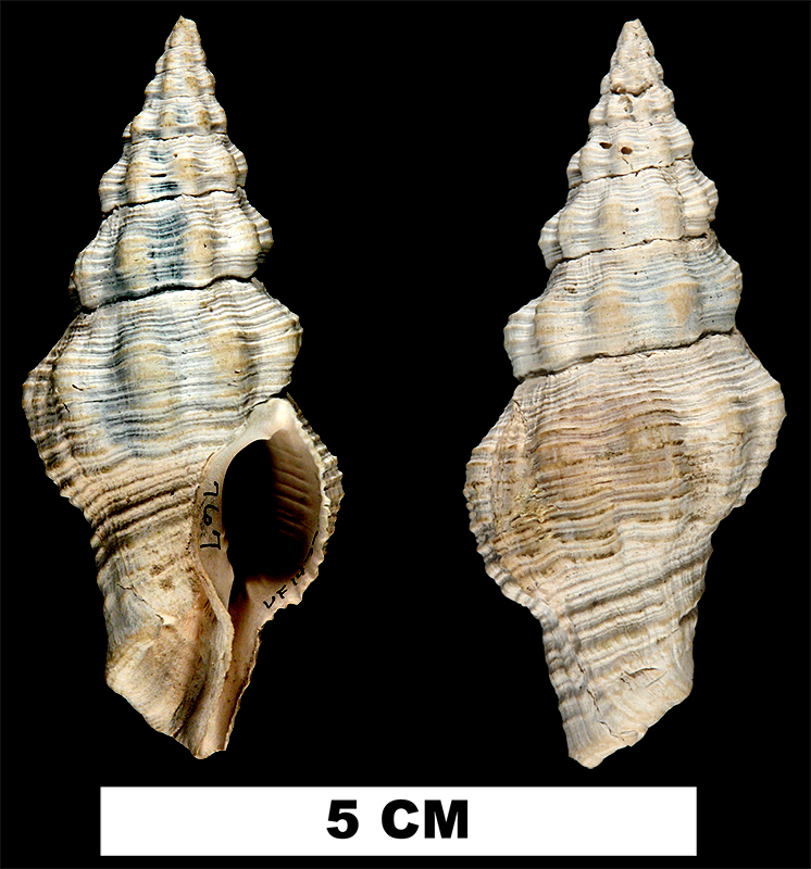 <i>Polygona maxwelli</i> from the Early Pleistocene Caloosahatchee Fm. or Middle Pleistocene Bermont Fm. of Glades County, Florida (UF 14773)