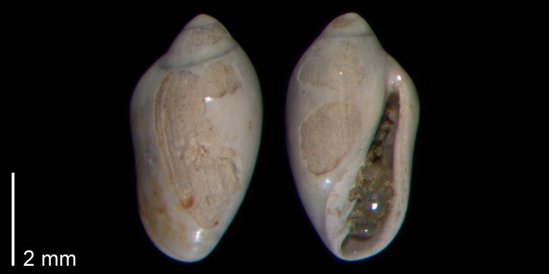 <i>Prunum limatulum</i> from the Early Pleistocene James City Fm. of Beaufort County, North Carolina (PRI 70486-2).