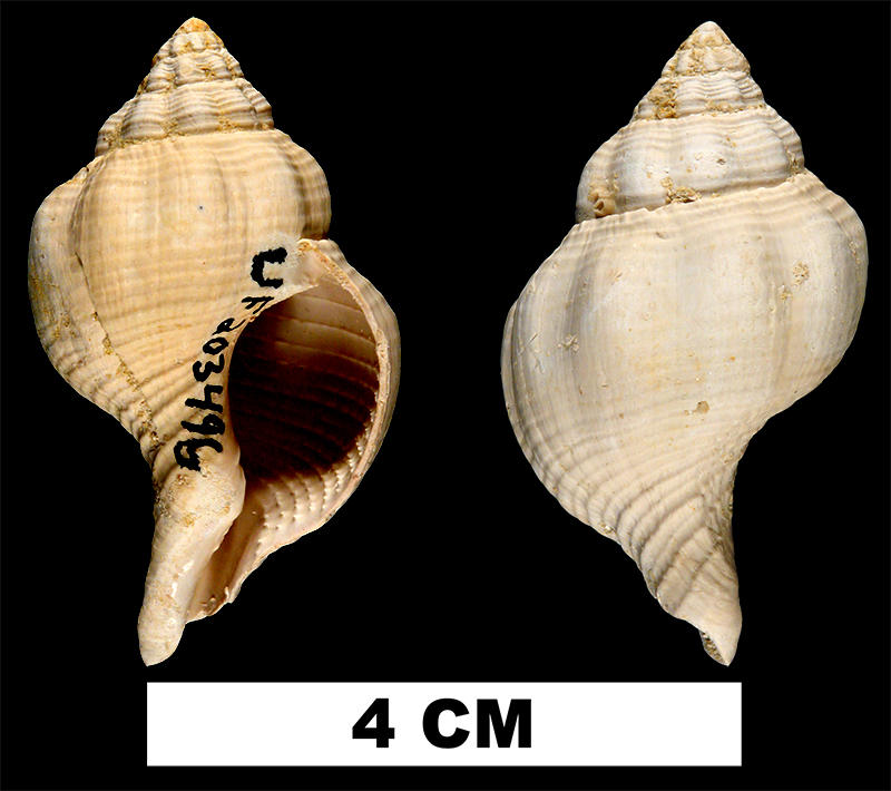 <i>Psammostoma costatum</i> from the Early Miocene Chipola Fm. of Calhoun County, Florida (UF 203496).