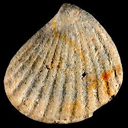 Pteromeris abbreviata
