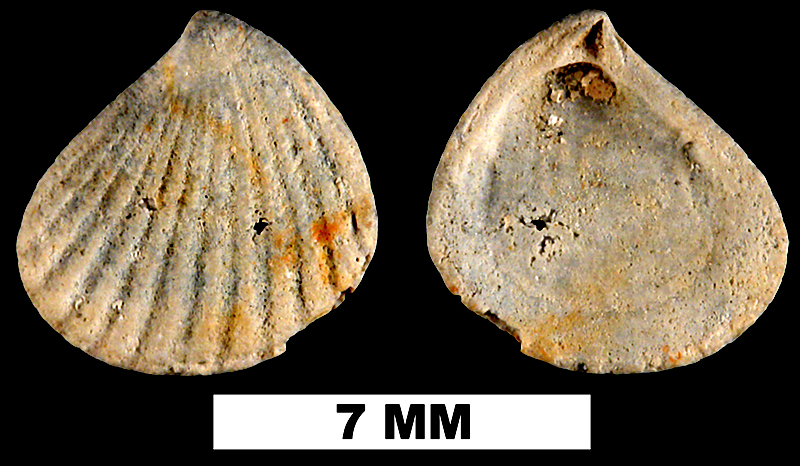 <i>Pteromeris abbreviata</i> from the Early Pleistocene Waccamaw Fm. (Upper) of Brunswich County, North Carolina (UF 225695).