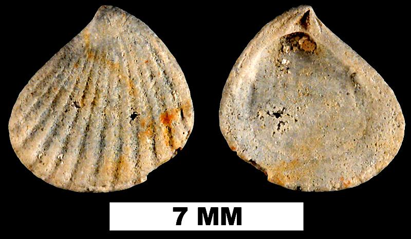 <i>Pteromeris abbreviata</i> from the Early Pleistocene Waccamaw Fm. (Upper) of Brunswich County, North Carolina (UF 225695).