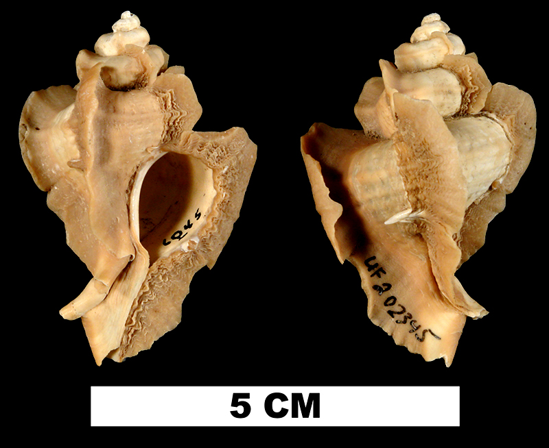 <i>Pterorytis fluviana</i> from the Plio-Pleistocene (formation unknown) of Okeechobee County, Florida (UF 202345).