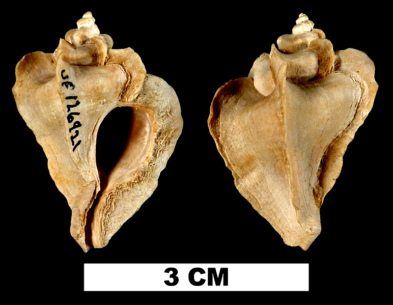 <i>Pterorytis roxaneae</i> from the Late Pliocene Tamiami Fm. (Pinecrest Beds) of Sarasota County, Florida (UF 126921).