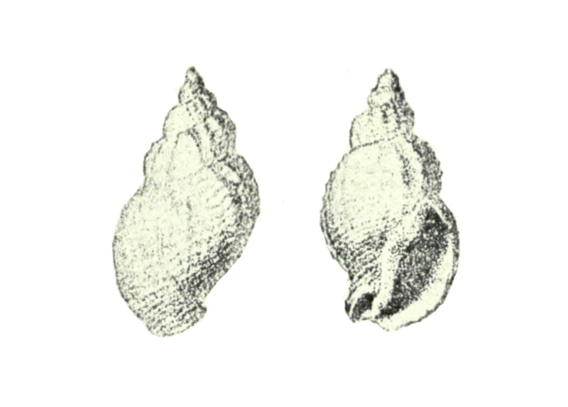 Specimen of <i>Ptychosalpinx laqueata</i> figured by Conrad (1832, pl. 4, fig. 5).