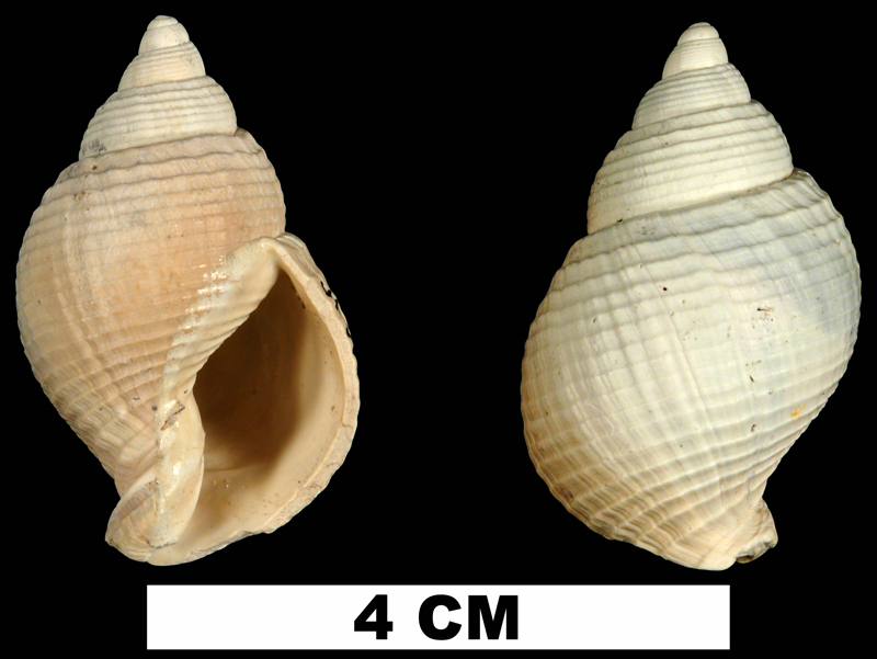 <i>Ptychosalpinx laqueata</i> from the Late Pliocene Tamiami Fm. (Pinecrest Beds) of Highlands County, Florida (UF 61686).