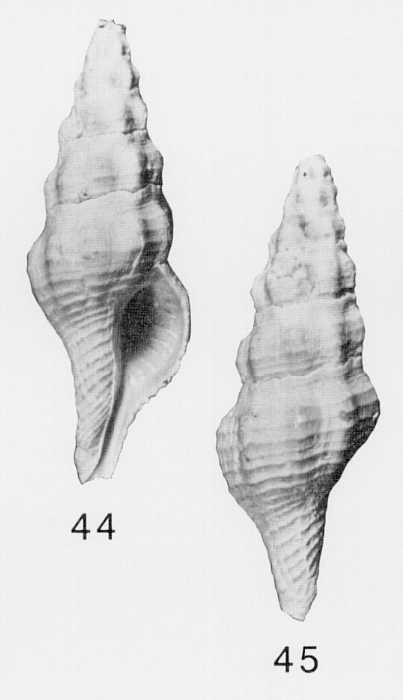 Specimen of <i>Pustulatirus caloosahatchiensis</i> figured by Lyons (1991, fig. 44 and 45).