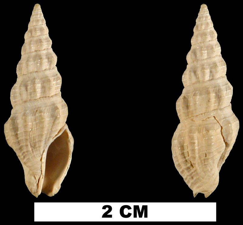 <i>Pyrgospira acurugata</i> from the Neogene (formation unknown) of Charlotte County, Florida (UF 223620).