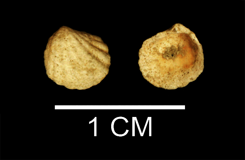 <i>Radiolucina tuomeyi</i> from the Late Pliocene Duplin Fm. of Wayne County, Georgia (SDSM 112190).